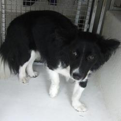 Dog looking for home 22 Mar 2017 in dublin_pound. surrendered, contact dublin dog pound.. Surrendered Date: Tuesday, March 21, 2017