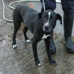 Dog looking for home 23 Nov 2015 in surrender_ dublin pound_1. SURRENDERED NEEDS  A HOME ASAP. CONTACT dublin dog pound..... Surrendered Date: Friday, November 20, 2015