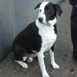 Dog looking for home 23 Nov 2015 in surrender_ dublin pound_2. SURRENDERED NEEDSA A HOME ASAP...cotact dublin dog pound... Surrendered Date: