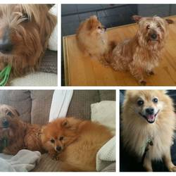 Dog looking for home 25 Mar 2017 in dogs in distress.... homed needed..This little pair are Bobby(8yr old Pom) & Scruffy (11yr old Terrier X)...these poor boys ended up with us after a tragedy in their family. They are now looking for an adult retirement home together.where they will get all the love and attention they deserve. contact dogs in distress