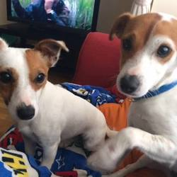 Dog looking for home 25 Mar 2017 in dogs in distress. homed needed...Sid & Flo...2yr old Terrier x ..They are brother and sister and have always lived together. They need an adult home with someone at home part-time. Please text Kathy on 086 3696413 if you can offer these lovely little dogs a foster or forever home...thanks!