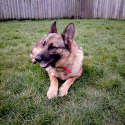 Dog looking for home 26 Feb 2018 in meath. surrended needs a home...Ref 46 Bella, 3 year old female German Shepherd, surrendered to the pound, hasn't lived with children, not good with cats, if you can help contact 0870973911