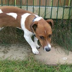 Dog looking for home 27 Apr 2016 in meath_pound.... SURRENDERED NEEDS A HOME ASAP..Otis...Ref 193 ..Jrt 6yrs old...Surrendered as owner moving to an apartment...he is vaccinated, wormed & has a passport...contact Meath pound on 087 0676766..thanks.