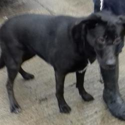 Dog looking for home 27 Feb 2018 in dublin_pound..... surrendered needs a home , contact dublin dog pound.. Surrendered Date: