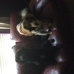 Dog looking for home 27 Jan 2015 in Kerry. Brother & sister, Buddy & Fudge great dogs, loving affectionate, full of beans, would love them to go together, both are vaccinated,chipped  and neutered. 087-3893838