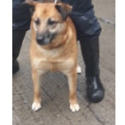 Dog looking for home 27 Mar 2018 in dublin_pound....`. surrendered needs a home, contact dublin dog pound..Surrendered Date: