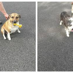 Dog looking for home 28 Jul 2017 in dogs in distress. home needed..Suzi (4yr old Terrier) & Pal 7 yr old Beardie x need urgent foster/forever home. Their tragically lost their owner. They are broken hearted. They are neutered etc...please contact Kathy on 086 369641..thanks