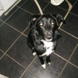 Dog looking for home 28 Nov 2012 in meath. 12 month old border collie,female,love children at any age.She is looking for a new home.unfortuantly we cant keep her. free to good home