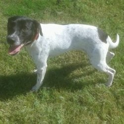 Dog looking for home 30 Aug 2016 in MEATH_POUND. SURRENDERED Pointer x...surrendered due to tragic circumstances...neutered etc....contact Meath pound on 087 0676766...thanks