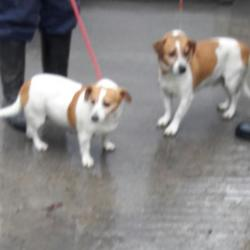 Dog looking for home 31 Jan 2017 in dublin_pound. surrendered... needs a home, contact dublin dog pound... Surrendered Date: Monday, January 30, 2017