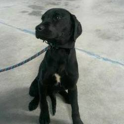 Dog looking for home 31 Mar 2015 in meath pound. NEEDS A HOME...Chase..5mt old Lab puppy surrendered today with his brother Chester...contact Meath pound on 087 0676766 if you can help these babies