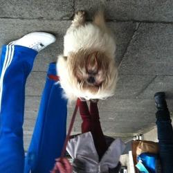 Found dog on 01 Dec 2012 in Drogheda. Honey and white male szhitzu dog, un-neutered. Found in Drogheda on Saturday 1st Dec.