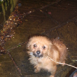 Found dog on 01 Dec 2012 in near DCU Dublin. Small brown female dog mixed breed. ph 087 1331114
