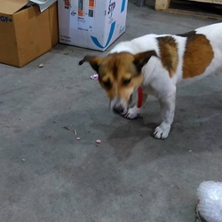 Found dog on 01 Dec 2015 in Drogheda, Co.Louth . Brown and White terrier