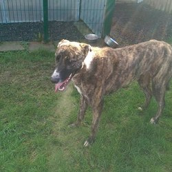 Found dog on 01 Feb 2017 in  Skryne Road Rathoath.. found..2yr old approx. Greyhound...found Skryne Road Rathoath...wearing a collar..microchipped but not registered....ref 35. Contact Meath pound on 087 0676766...thanks