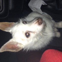 Found dog on 01 Jan 2014 in Dublin. Small white dog found in clontarf. Very friendly. Blue collar with pet face written on it but no number.  mckeownjeanne@gmail.com
