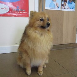 Found dog on 01 Jun 2017 in Arklow area. found...ARNIE (pound name) is a male Pom found in the Arklow area. For further information contact Wicklow Dog Pound at 040444873.