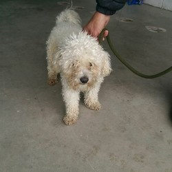 Reunited dog 01 Jun 2017 in Bettystown Village Co Meath. UPDATE...OWNER FOUND  found...2 yr old Bischon...found in Bettystown Village Co Meath...microchipped but not correctly registered.. contact Meath pound on 087 0676766...thanks
