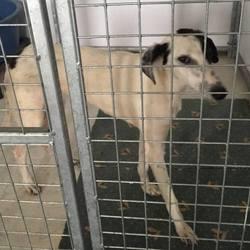 Found dog on 01 Jun 2017 in Francis Park Windtown Navan. found...ref 182..1yr old Greyhound (with mange) gound with Ben in Francis Park Windtown Navan...please contact Meath pound on 087 0676766..thanks