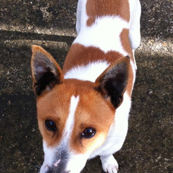 Found dog on 01 May 2013 in Ballyfermot. Jack Russell found in Ballyfermot