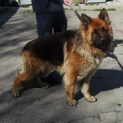 Found dog on 01 May 2015 in Whitehall Road , Terenure. found gsd,now in the dublin dog pound... Date Found: Thursday, April 30, 2015 Location Found: Whitehall Road , Terenure