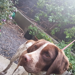 Found dog on 01 May 2017 in War Memorial Gardens Islandbridge. Pointer Cross female found, brown and white, about 2 years old we think.