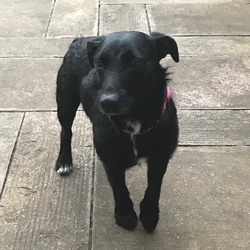 Found dog on 01 Oct 2017 in Greenhills. Black terrier, with 2 white back paws and white chest, found yesterday afternoon Perrystown/Greenhills area by the side of the road trembling! No microchip/collar/tag, no identity at all! Very timid little boy, between 6months - 1 year old! He is currently spending the night in the vets on Whitehall road, stayed with me last night but was quite distressed! He will be sent to the local dog warden tomorrow!!