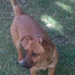 Found dog on 02 Aug 2013 in Millennium roundabout sallins. Female Brown small jack Russell cross