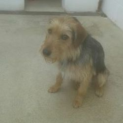 Found dog on 02 Aug 2016 in Dunboyne. found...2yr old Male Terrier x..ref 296...found in Dunboyne a week ago...contact Meath pound on 087 0676766...thanks
