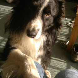 Found dog on 02 Feb 2013 in Carrigane, Mitchelstown, Co. Cork. Black and white male adult collie sheep dog.  Found on M8 motorway