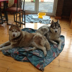Found dog on 02 Jan 2013 in Rathfarnham. 2 beautiful huskys found together in Rathfarnham, Dublin, A dog and a bitch.  The dog is tan/white in colour and the bitch is black/grey/white  Very friendly and appear to be very used to people - they're like something from the twilight movies !!   I hope someone is looking for them ?  My contact details are 0876738645 - Ray
