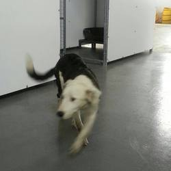 Found dog on 02 Jul 2014 in kells. Zita...ref 297...approx...10mt old Collie X puppy...Found in Allenstown Kells...contact Meath pound on 087 0676766..