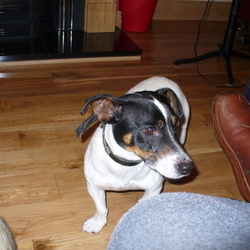 Found dog on 02 Jun 2012 in Blackrock, Co Louth. Jack Russell, male, very friendly, seems to be good with kids and other dogs and cats, found in Ravensdale Co Louth on 2 June about 7 PM