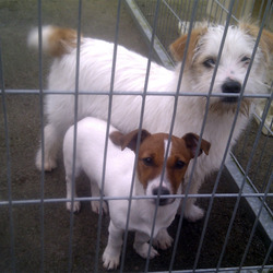 Found dog on 02 Mar 2012 in Newbridge, Kildare. Two young female dogs found in Newbridge Co Kildare. No collars or microchips. One is a Jack Russell, the other a larger terrier type.