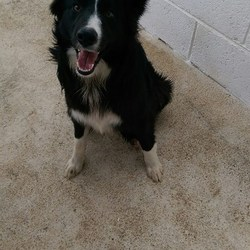 Found dog on 02 Mar 2016 in Kilmainhamwoods Kells. found......2yr old female Collie..ref 96...found in Kilmainhamwoods Kells...contact Meath pound in 087 0676766...thanks