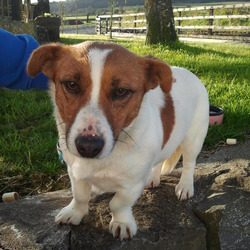 Found dog on 02 May 2013 in Gathabawn Co Kilkenny. White/Brown Female Terrier Found in Gathabawn area co. Kilkenny. Really friendly and sociable, Mark where a collar was, obviously a pet as she's been well looked after.