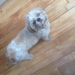 Found dog on 02 Sep 2014 in Chapelizod . Young female dog found in Chapelizod. White with light brown patches, one blue eye one brown eye,