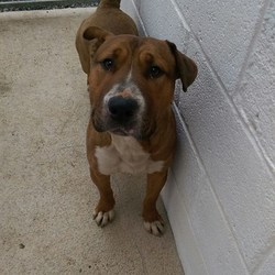 Found dog on 03 Apr 2016 in Springvalley. found..2yr old Bullbreed x. ref 140 .found in Springvalley, Summerhill, contact Meath pound on 087 0676766...thanks...