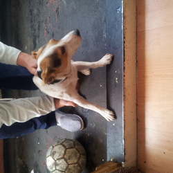 Found dog on 03 Aug 2013 in dublin 8. Jrt type dog found james st/basin st area kids said he came from james luas stop has collar on him