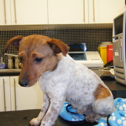 Found dog on 03 Jan 2013 in Palmerstown. Small male Jack Russell, not neutered or chipped.  Hungry, and nervous, but seems to be missing an owner.  Under one year old-can only keep him overnight unfortunately. Found him playing with the traffic on Kennelsfort Rd, Palmerstown almost knocked down.  Contact Sarah 087-7605986.