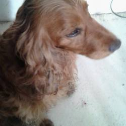 Found dog on 03 Mar 2016 in Knockmark, Drumre. UPDATE REHOMED...found...male cocker spaniel, ref. 99..found in Knockmark, Drumree with Lucy. Pease contact Meath pound if you have any information.