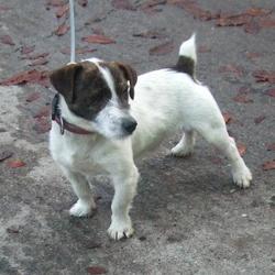 Found dog on 03 Nov 2015 in Kilmartin Avenue , Tallaght. found, now in the dublin dog pound.. Date Found: Monday, November 2, 2015 Location Found: Kilmartin Avenue , Tallaght