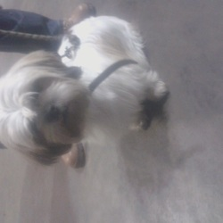 Found dog on 03 Nov 2015 in Little Island Cork. Male Shih Tzu found Little Island Cork. No collar  Neutered. Will check later for chip. Friendly.
