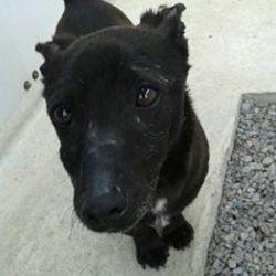 Found dog on 04 Apr 2016 in Beaufort Estate Navan. found...2yr old Terrier x..ref 147...found in Beaufort Estate Navan...contact Meath pound on 087 0676766...thanks..