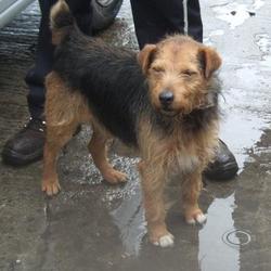 Found dog on 04 Apr 2016 in Cruagh Woods , Rathafrnham. found, now in the dublin dog pound... Date Found: Friday, April 1, 2016 Location Found: Cruagh Woods , Rathafrnham