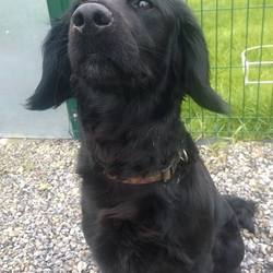Reunited dog 04 Apr 2017 in Wilkinstown. UPDATE REUNITED......found...1yr old Spaniel X...ref 107...found in Wilkinstown...please contact Meath pound on 087 0676766 or Kathy on 086 3696413 if you can foster. This poor girl is very timid & upset and can do her stray time in foster so please get in touch. We provide all food/bedding and cover all vet costs etc..