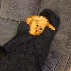 Found dog on 04 Dec 2013 in Athlone. Found in Coosan in Athlone. Miniture Pom. Approx. 2 years old. Friedly. Perhaps had pups recently