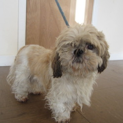 Found dog on 04 Dec 2013 in Wicklow. Shih Tzu found in Wicklow. Contact Wicklow Dog Pound for information. Available for rehoming from 10/12/13 if owner is not found