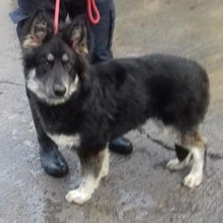 Found dog on 04 Dec 2017 in Castle Park , Tallaght. found, now in the dublin dog pound... Date Found: