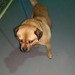 Found dog on 04 Feb 2016 in Smith & Foley vets Kells. found...2yr old Pug x...brought in from Smith & Foley vets Kells..ref 60 contact Meath pound on 087 06676766...thanks..